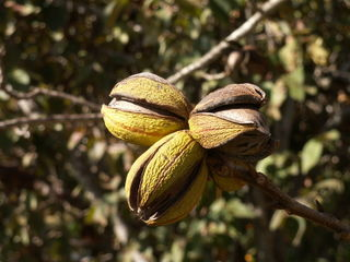Pecan-nuts-on-tree